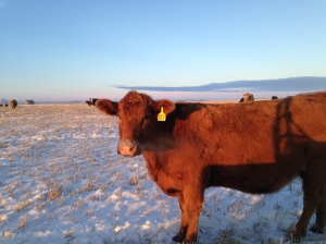 Bred cow on winter pasture