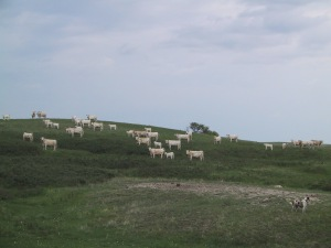 Charolais cows out grazing on summer pasture