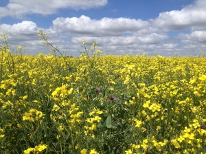 July flowering canola-pea field in Saskatchewan