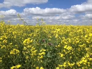 July flowering canola-pea field in Saskatchewan